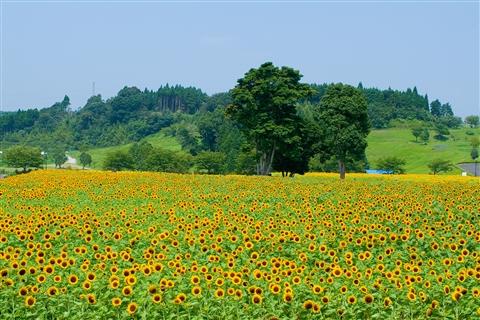 Thưởng thức hoa hướng dương ở Kagoshima