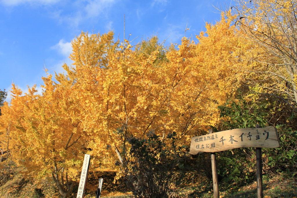"""""""thiên đường cây lá vàng cảnh đẹp như trong phim """" ngay tại tỉnh Kagoshima"""