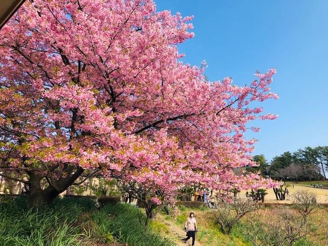 Ngắm hoa anh đào sớm tại công viên Yoshino – Kagoshima