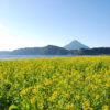 Đi dạo và ngắm thềm hoa cải trên hồ IKEDA tại Ibusuki