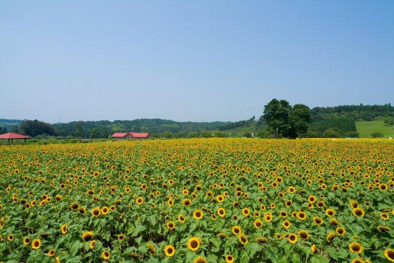 Cánh đồng hoa hướng dương giữa tháng 7 và đầu tháng 8