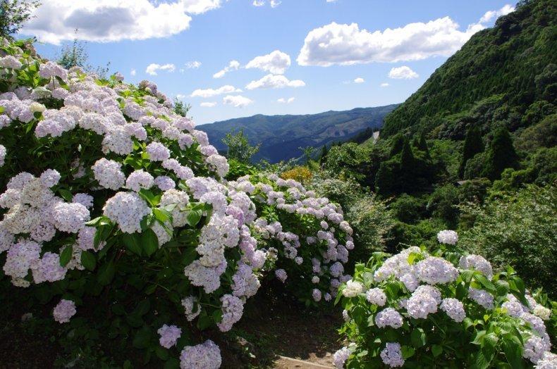Ajisai-cẩm tú cầu * Loài hoa của tháng 6