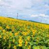 Cánh đồng hoa hướng dương gần sân bay Kagoshima